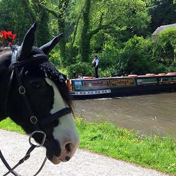 Horse drawn boat trips for Friends of Cromford Canal with Chelsea
